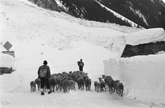 Hirten mit einer Schafherde ziehen im Winter 1965 über die verschneite Sustenpass-Strasse. (Bild: Keystone)