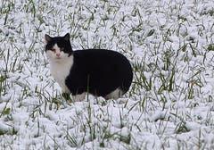 «Ob sich da die Mäuse noch blicken lassen?» Unser Leser hat diese Katze im Schnee auf dem Steinhauserberg fotografiert. (Bild: Leserbild Josef Lustenberger)