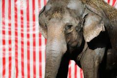 Sie werden dann nur noch in Rapperswil im Zoo zu sehen sein. (Bild: Stefan Kaiser / Neue ZZ)
