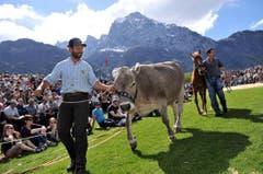 Der Preis für den Tagessieger: Ein zweieinhalb Jähriges Rind. (Bild: Urs Hanhart / Neue UZ)