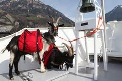 «Chrigu» und «Bärti» haben auf dem Schiff einen ganz besonderen Platz. (Bild: Florian Arnold / Neue UZ)