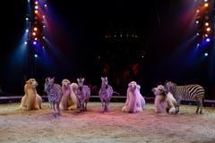 Kamele und Zebras in der Manege. (Bild: PD / Katja Stuppia, Circus Knie)