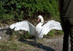 Damit der Schwan den «Eierstecher» nicht angreift, wird dieser mit einem Stock zurückgehalten. (Bild: Corinne Glanzmann (Neue NZ))