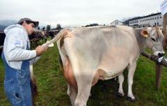 Jungbauer Noldi Durrer aus Kerns putzt seine Kuh nochmals, bevor der Richter sie begutachtet. (Bild: Romano Cuonz)