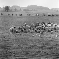 Blumen an der Gedenkfeier in Dürrenäsch für die Opfer der Flugzeugkatastrophe vom 4. September, aufgenommen am 15. September 1963. (Bild: Keystone / Str)