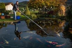 Ralph Knüsel behandelt die Koi-Fische der Familie Sidler in Küssnacht. (Bild: Boris Bürgisser)