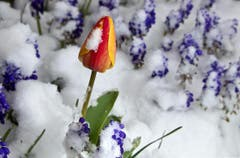 Eine geschlossene Tulpenblüte mit Schneehäubchen. (Bild: Keystone)