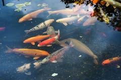 Knüsel schaut natürlich auch darauf, wie die Fische genährt und ob sie fit genug sind, die kalte Jahreszeit zu überstehen. (Bild: Boris Bürgisser)