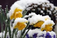 Heftiger Schneefall versetzt Osterblumen in Kerns in ein winterliches Weiss. (Bild: Keystone)