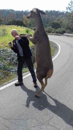 Spanische Hirschkuh heisst Schweizer Touristen in Naturpark herzlich willkommenRoger Schläpfer, als Gastgeber des Hotels Olivetum Colina in Montoro/Andalusien/Spanien, machte mit seinem Schweizer Gast einen Ausflug in den nahegelegenen Naturpark, wo die beiden von einer Hirschkuh herzlich begrüsst wurden. (Bild: Roger Schläpfer)