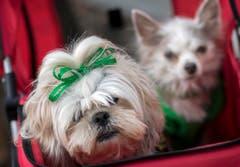 Auch die Hündchen Laney und Lola (rechts) nahmen wurden für den Umzug in Savannah geschmückt. (Bild: Keystone)