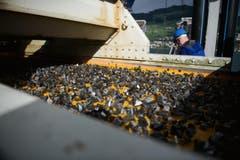 Die gröberen Steine müssen zuerst durch einen Steinbrecher. (Bild: Corinne Glanzmann / Neue NZ)