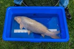 Knüsel misst die Fische und schaut natürlich auch darauf, wie die Fische genährt und ob sie fit genug sind, die kalte Jahreszeit zu überstehen. (Bild: Boris Bürgisser)