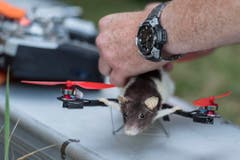 Ratatouille wird für den nächsten Flug vorbereitet. (Bild: Keystone)