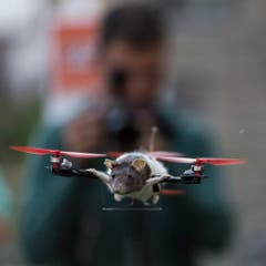 Auch Ratten können fliegen - und bekommen dann den Namen Ratatouille. (Bild: Keystone)
