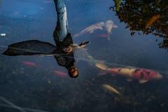 Bei der Familie Sidler in Küssnacht trifft Knüsel auf einen Teich, in dem prächtige Kois, aber auch Störe schwimmen. (Bild: Boris Bürgisser)