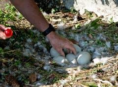 Nachdem der Schwan aufgestanden ist, können die Wildhüter die Eier aus dem Nest nehmen... (Bild: Corinne Glanzmann (Neue NZ))