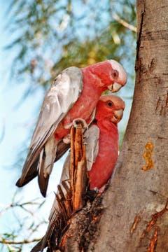 Liebe: Zwei Papageien in Australien beim Kuscheln. (Bild: Jutta Schubert)