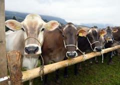 Obwaldner Kühe gehören zu den schönsten Kühen der Schweiz, und darauf scheinen sie stolz zu sein. (Bild: Romano Cuonz)