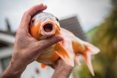 Knüsel jagt im Teich einen Goldtisch. Diese Art zeigt eine erhöhte Anfälligkeit für Nierenzysten und Hauttumore. (Bild: Boris Bürgisser)