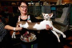 Regina Kurz präsentiert ihre lange Kurze: Gizmo of Seeta's Best, eine Orientalische Kurzhaar-Katze. (Bild: Christof Borner-Keller / Neue ZZ)