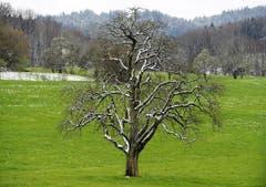 Der Baum erhielt am Ostersonntag eine leichte Schneedecke. (Bild: Keystone)