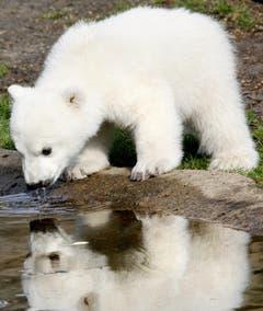 Knut lebte noch drei weitere Jahre. (Bild: Keystone)