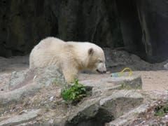 810 Gramm wog Knut bei seiner Geburt. (Bild: Umberto W. Ferrari)