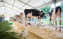 Highend Viehzucht Gant (Bild: Andrea Stalder)