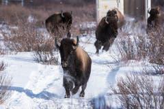 Ab in die Freiheit: Die ausgesetzten Präriebisons rennen aus dem Transportcontainer im Banff-Nationalpark. (Bild: Parks Canada / Dan Rafla)