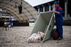 Ferkel werden in die Arena gekarrt, um ihnen etwas Auslauf zu gönnen. (Bild: Luca Linder)
