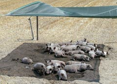 Im bündnerischen Trimmis halten Schweine ein Nickerchen unter einem Sonnendach. (Bild: Keystone)