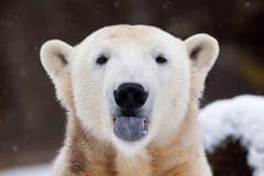 Knut kam im Dezember 2006 auf die Welt. Es war die erste Eisbärengeburt im Zoologischen Garten in Berlin seit mehr als 30 Jahren. (Bild: Keystone)