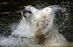 Ein nasser Knut im Jahr 2009. (Bild: Keystone)