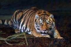 Ein Jahr und sieben Monate alt, 100 Kilo schwer: Tigerin Julinka. (Bild: pd)