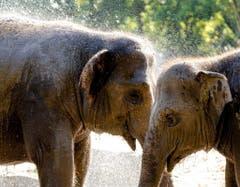 Auch die Elefanten im Zoo von Rotterdam waren froh um jede Abkühlung. (Bild: SANDER KONING (EPA))
