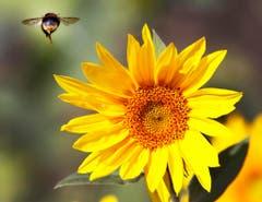 Auch das war der Sommer: Eine Biene im Landeanflug auf eine Sonnenblume. (Bild: MICHAEL PROBST (AP))