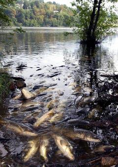 Tote Tiere zuhauf: Im Muzzanersee bei Lugano treiben wegen Sauerstoffmangels verendete Fische am Ufer. (Bild: Keystone)