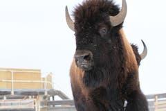 Bisons zählen zu den Ikonen der kanadischen Geschichte. (Bild: Johane Janelle / ©Parks Canada Bison)