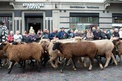 Schafe ziehen durch die St. Galler Innenstadt. (Bild: Keystone)