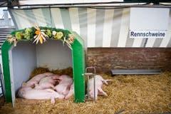 Rennschweine? Schlafschweine! (Bild: Urs Bucher)
