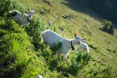 Auch Geissen sind auf der Alp. (Bild: Urs Bucher)