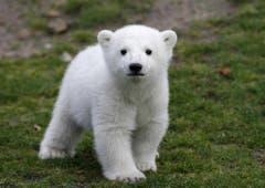 Der kleine Knut wurde schnell zum Liebling der Medien und des Publikums. (Bild: Keystone)