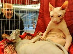 Internationale Katzenausstellung in Florence: Diese zwei sorgen mit ihrem aussergewöhnlichen Aussehen für Aufsehen. (Bild: Keystone)