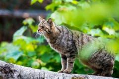 Eine Wildkatze erkundet ihr Revier im Tierpark Goldau. (Bild: Keystone)