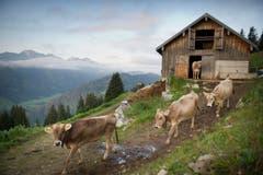Die Kühe verlassen den Stall. (Bild: Urs Bucher)