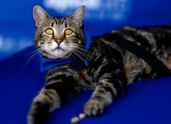 Tara, eine 7-jährige adoptierte Katze. (Bild: Keystone)