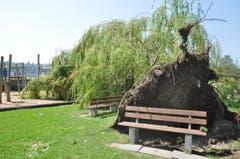 Die grosse Linde auf der Ermatinger Horn-Wiese wurde beim Sturm entwurzelt und stürzte auf einen Spielplatz. (Bild: Viola Stäheli)