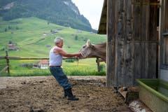 Roland Bischof zerrt eine Kuh aus dem Stall. (Bild: Urs Bucher)
