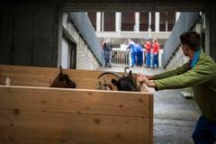 In einer Holzkiste werden Ziegen in den Stall gebracht. (Bild: Luca Linder)